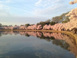 Tidal Basin Cherry Blossoms 2